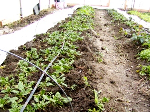spinach bed